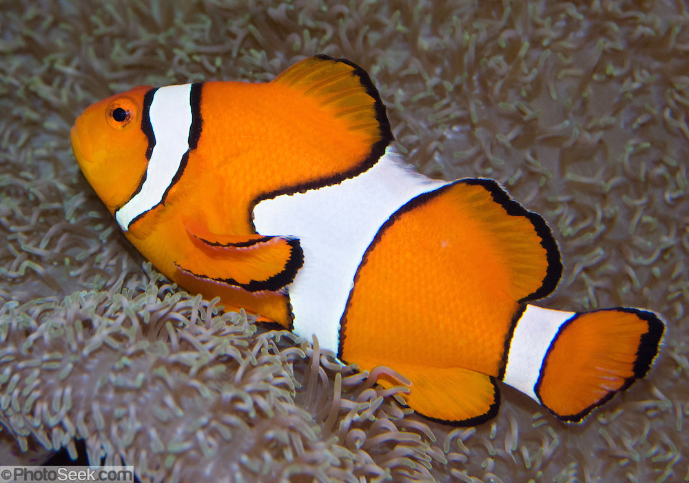 """The Clownfish (Amphiprion ocellaris), or False Percula Clownfish, is found in Pacific coral reefs, and is a popular aquarium fish, even more so after it rose to stardom in """"Finding Nemo"""", the 2003 Academy Award-winning computer-animated film. Seattle Aquarium, Washington, USA."""