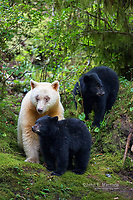 White kermode bear with two black cubs, Great Bear Rainforest, BC