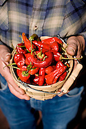 New Mexican chilies, Santa Fe, NM, USA