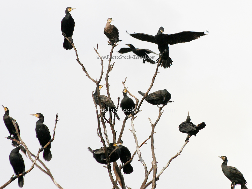 Israel, a flock of Pygmy Cormorants (Phalacrocorax pygmaeus) on a tree