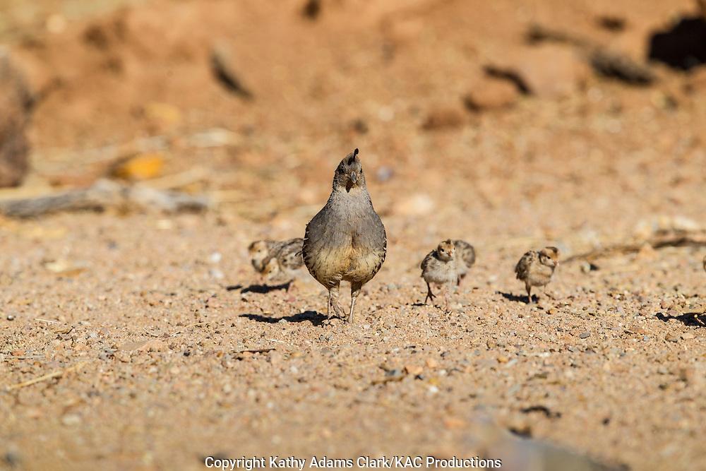Gambel's quail; Callipepla gambelii; mother with babies, Arizona; Sonoran Desert;  Summer