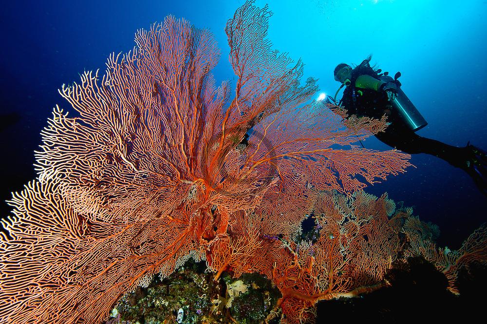large gorgonian sea fans; Cendrawasih Bay;