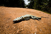 Diamantina_MG, Brasil...Reptil morto em trecho da Estrada Real que vai de Diamantina a Sao Goncalo do Rio das Pedras...The reptile dead on the Real Road (Estrada Real) between Diamantina and Sao Goncalo do Rio das Pedras. ..Foto: LEO DRUMOND /  NITRO
