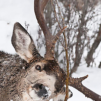 mature trophy muledeer buck rubs antlers tree winter snow