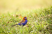Purple Grenadier (Uraeginthus ianthinogaster) on the grass. Photographed in Tanzania