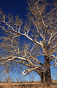 A sycamore tree stands near Sonoita, Arizona, USA.