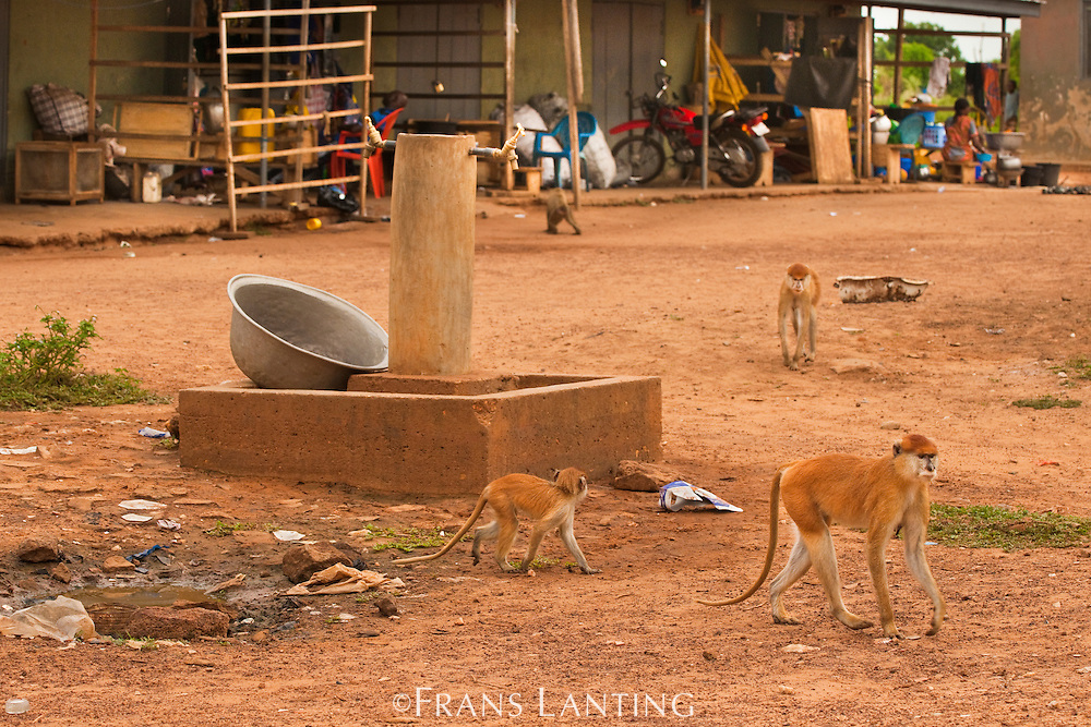Patas monkeys and baboons in village, Mole National Park, Ghana