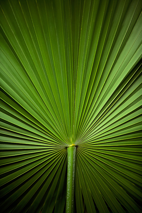 Close-up of palm frond stem with leaves radiating out from center.