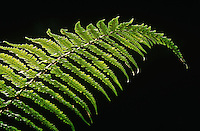 Close-up of fern leaf on black background