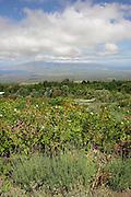 Alii Lavendar Farm, Kula, Maui, Hawaii<br />