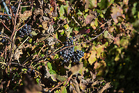 """GUAGNANO, ITALY - 10 NOVEMBER 2016: Grapes of the vineyard of Camarda of the wine house Feudi di San Guaganano, where the wine """"Le Camarde"""" is produced, is seen here in Guagnano near Lecce, Italy, on November 10th 2016.<br /> <br /> Here a group of ten high-security female inmates and aspiring sommeliers , some of which are married to mafia mobsters or have been convicted for criminal association (crimes carrying up to to decades of jail time), are taking a course of eight lessons to learn how to taste, choose and serve local wines.<br /> <br /> The classes are part of a wide-ranging educational program to teach inmates new professional skills, as well as help them develop a bond with the region they live in.<br /> <br /> Since the 1970s, Italian norms have been providing for reeducation and a personalized approach to detention. However, the lack of funds to rehabilitate inmates, alongside the chronic overcrowding of Italian prisons, have created a reality of thousands of incarcerated men and women with little to do all day long. Especially those with a serious criminal record, experts said, need dedicated therapy and professionals who can help them."""