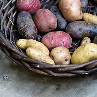 A basket of red, purple, yellow and pink heirloom potatoes.