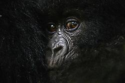 Close-up portrait of the face of an infant mountain gorilla (Gorilla beringei beringei) snuggling with its mother, Park de Volcanoes ,Rwanda