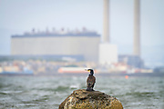 Great Cormorant (Phalacrocorax carbo) perched on rock with industrial chimneys in the background. East Lothian. Scotland. UK.