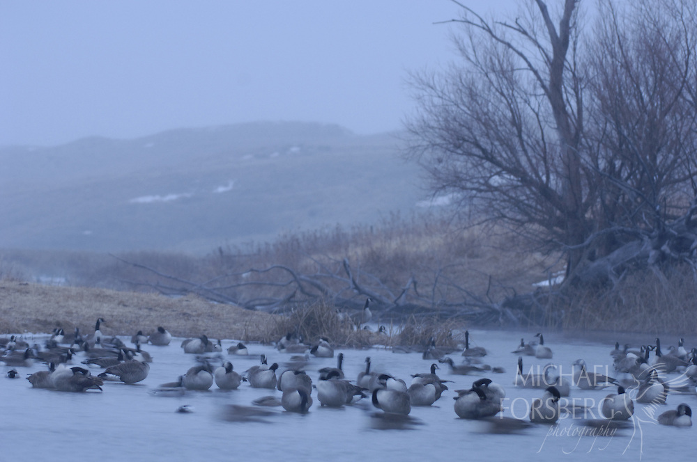 Nebraska Sandhills..Canada geese wintering along Blue Creek...Blue Creek stays open even in the deepest cold of winter, fed by powerful underground springs from the Ogallala aquifer below.