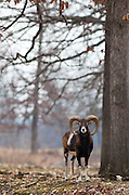 A Mouflon Sheep (Ovis aries orientalis) in a wooded area looking at the camera.