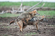 mating Golden Jackal (Canis aureus), also called the Asiatic, Oriental or Common Jackal, Photographed in Hula valley, Israel