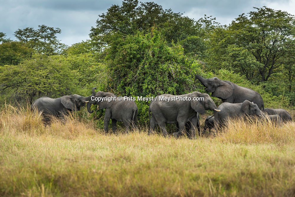 Malawi, July 2017. Plenty of elephants roam Liwonde park. FRom Mvuu Lodge one can explore Liwonde National Park through game drives and boat safari. Malawi is known for its long rift valley and the third largest lake in Africa: Lake Malawi. Malawi is populated with friendly welcoming people, who gave it the name: the warm heart of Africa. In the south the lake make way for a landscape of valleys surrounded by spectacular mountain ranges. Photo by Frits Meyst / MeystPhoto.com
