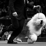 "February 11, 2013 - New York, NY : .Images from the 2013 Westminster Kennel Club Dog Show at Madison Square Garden on Monday evening. Affenpinscher ""Banana Joe"" after winning the toy group. ""Swagger,"" an Old English Sheepdog which took first in the herding division, trots around the arena during competition. .CREDIT: Karsten Moran for The New York Times"