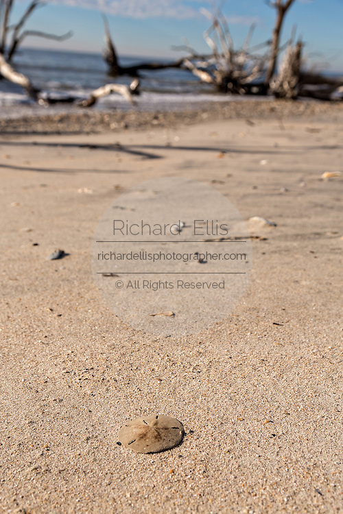 Sea shells and a sand dollar along Boneyard Beach at Botany Bay Plantation February 16, 2014 in Edisto Island, South Carolina. Each year 144,000 cubic yards of sand is washed away with the waves at the beach and nearshore eroding the coastal forest along the beachfront.