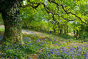 Lone Man Walking in Bluebell Flower (hyacinthoides non-scripta) and Beech Tree (fagus silvatica) Woodland, Shotover, Oxfordshire England 2007 NR
