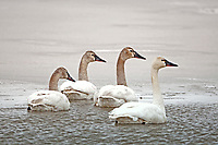Four immature Tundra Swans swim in open water on a frozen marsh pond in northern Utah.