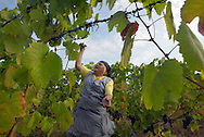 During harvest time by end of August, beggining of September, women and men collect the grapes in plastic baskets that substituted typical  wicket basketwork. The Douro river valley wine region is the oldest in the world. It's were  famous Port wine is produced  and its landscape was declared Unesco World Heritage. The Douro river is born in Spain and reaches its mouth in Oporto city. MAXIMUM QUALITY AVAILABLE