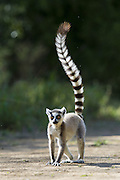 Ring-tailed Lemur<br /> Lemur catta<br /> Walking while waving tail in the air<br /> Berenty Private Reserve, Madagascar