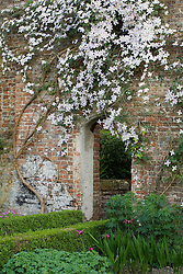 Clematis montana var. rubens 'Tetrarose'  trained on a brick wall at Sissinghurst Castle Garden