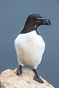The Razorbill, Alca torda, is a large auk, 38-43 cm in length, with a 60-69 cm wingspan. Their breeding habitat is islands, rocky shores and cliffs.