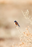 A male Western Bluebird sits on sagebrush southern Utah is on the border of this birds year round and summer range.