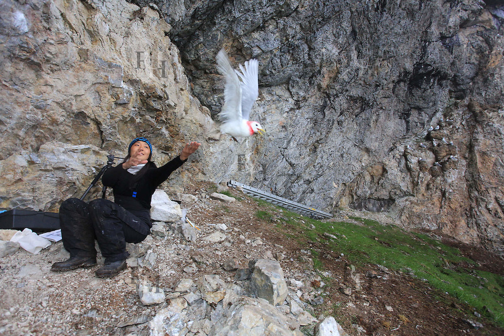 Grad student Solveig Nilsen releases kittiwake after processing it during field research at breeding colony on Blomstrand island; Kongsfjorden, Svalbard.