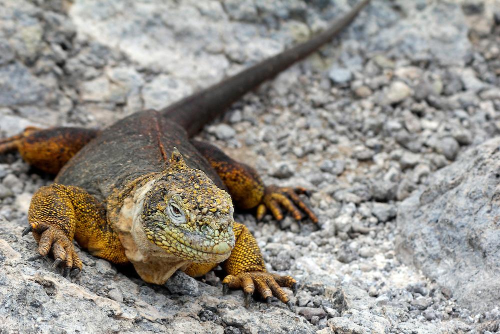 South America, Ecuador, Galapagos, South Plaza Island. Land Iguana.