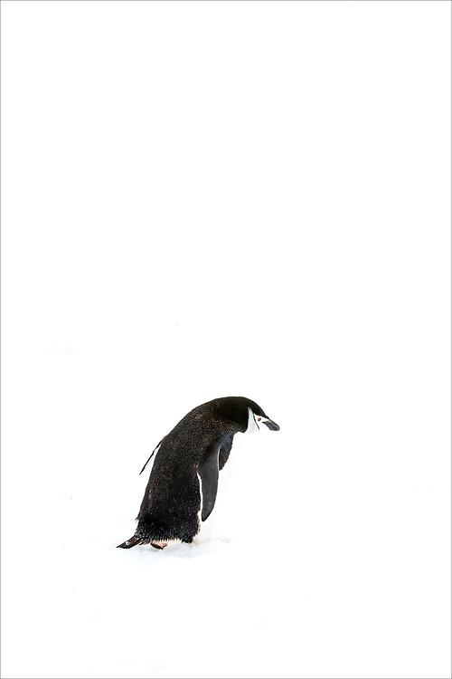 Chinstrap Penguin, Hydrurga Rocks, Antarctic Peninsula, Antarctica  2014