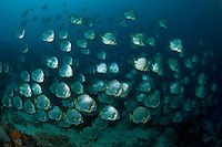 Wall of Batfish