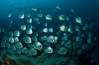 Wall of Batfish