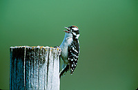 Downy Woodpecker (Picoids pubescens) on post, near Calgary, Alberta, Canada   Photo: Peter Llewellyn