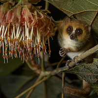 Goodman's Mouse Lemur (Microcebus lehilahytsara), feeding on the nectar of night-blooming Dombeya sp. flowers.