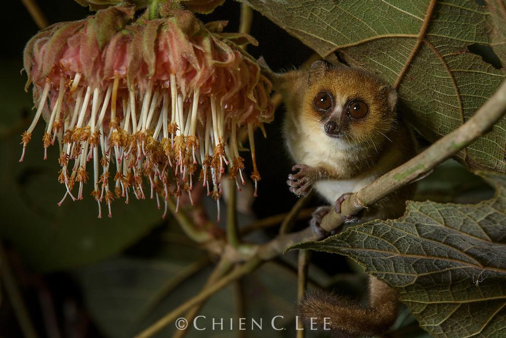 Goodman's Mouse Lemur (Microcebus lehilahytsara), feeding on the nectar of night-blooming Dombeya sp. flowers.