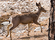 Mule deer on McKittrick Canyon Trail. Hike some of the most scenic trails in Texas in Guadalupe Mountains National Park, in the Chihuahuan Desert, near El Paso, USA. Hiking the ecologically-diverse McKittrick Canyon in Guadalupe Mountains NP is best when fall foliage turns color.