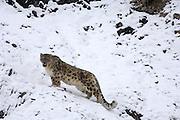 Leh - Sunday, Dec. 3, 2006: An adult male snow leopard (Unica unica) stands on a snowy slope in Hemis National Park, Ladakh. (Photo by Peter Horrell / www.peterhorrell.com)