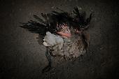 Bolivia, Dying Baby Flamingos