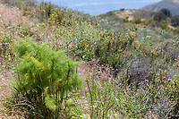 Foeniculum vulgare (Fennel) at Charmlee Park, Malibu, Los Angeles Co, CA, USA, on 30-Apr-17 larval host for Anise Swallowtail