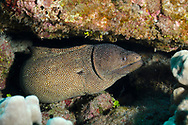 Whitemouth Moray, Gymnothorax meleagris, Shaw & Nodder, 1795), Maui Hawaii