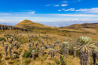 Paramo de Oceta and his Espeletia Frailejones Mongui Boyaca in Colombia South America