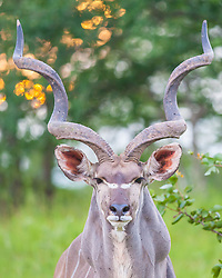 Portrait of a mighty male kudu at South Luangwa National Park in Zambia. Usually shy, this handsome guy stood stock-still for 10 minutes just 8 feet away from us. *50% of the proceeds from this image will go to Conservation  the South Luangwa , which plays a huge role in the conservation of wildlife and community development in the Luangwa valley. Thanks for your support!