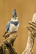 Belted kingfisher male with a fish in its mouth