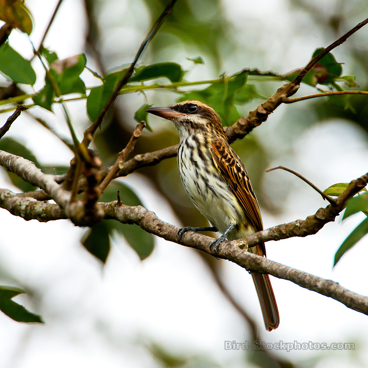 Streaked Flycatcher, Myiodynastes maculatus, Panama, by Owen Deutsch
