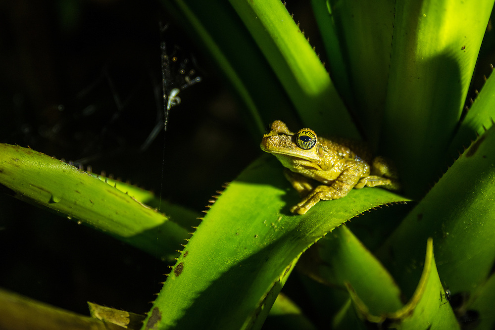 A frog is sitting on the inside of a plant in search of small insects, Cuyabeno Reserve, Ecuador.