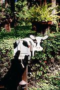 Cow, mailbox, Haiku, Maui, Hawaii